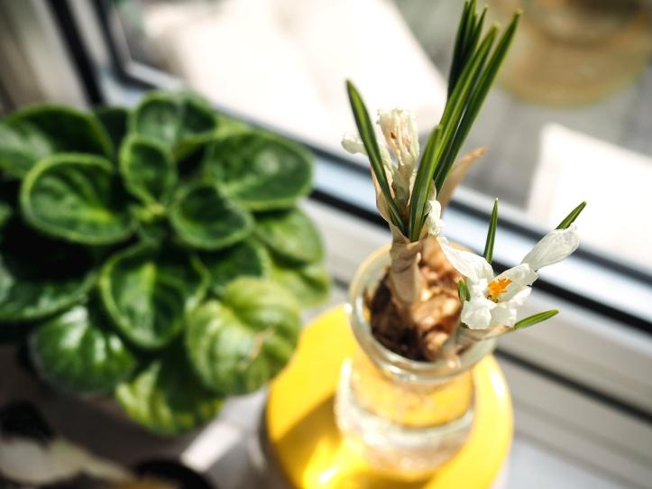 Crocus bulb in glass, Urban Jungle Bloggers