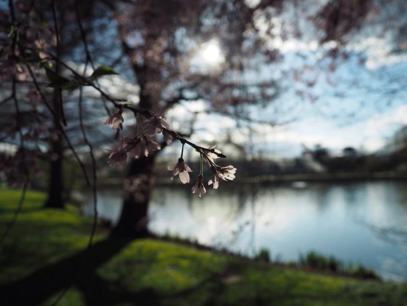 Blossom in Kew Gardens