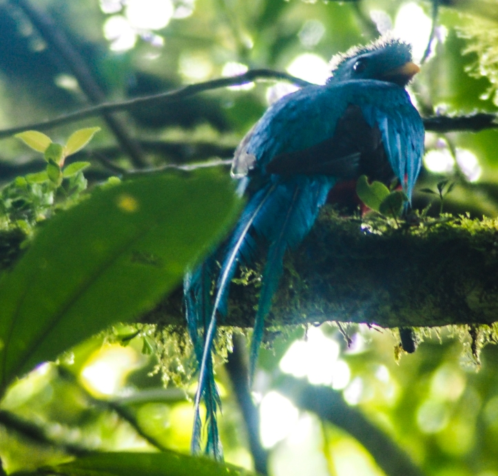 Resplendant Quetzal in Monteverde Cloud Forest, Costa Rica via A Ranson Note
