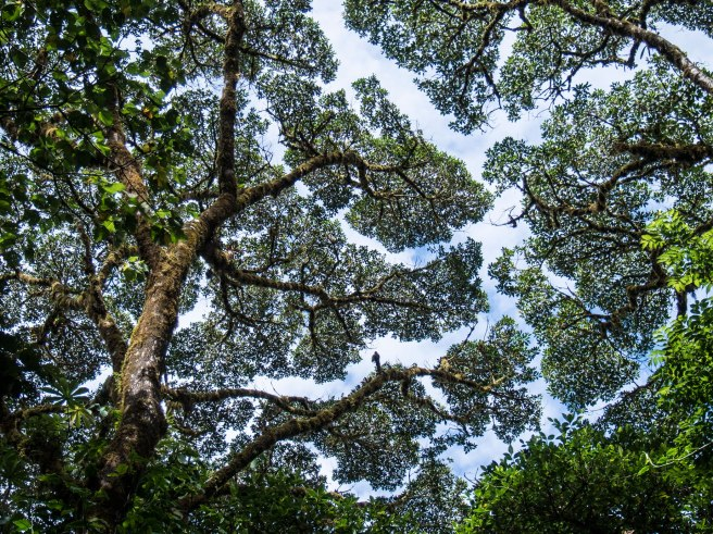 Tree Canopy in the Monteverde Cloud Forest, Costa Rica