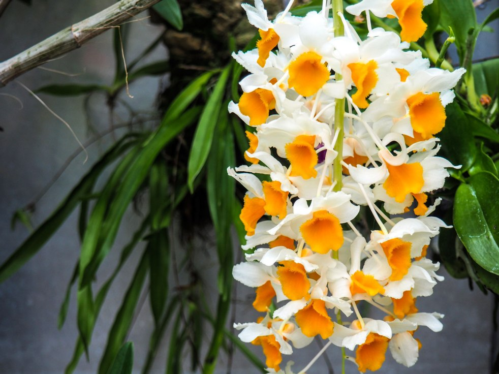 Fried-egg-orchid
